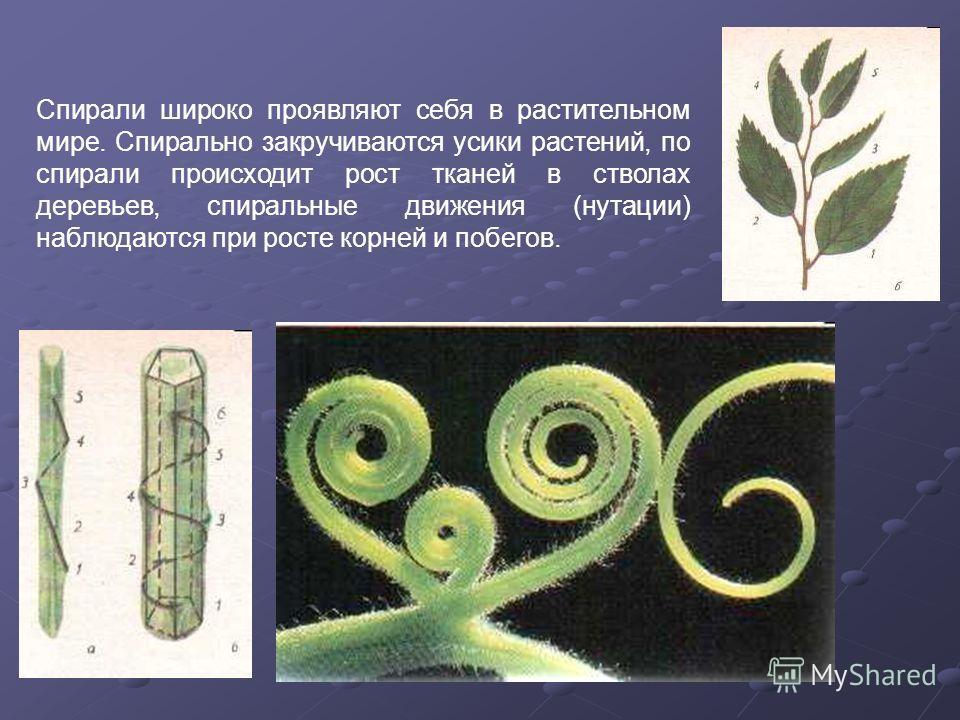 Спирали широко проявляют себя в растительном мире. Спирально закручиваются усики растений, по спирали происходит рост тканей в стволах деревьев, спиральные движения (нутации) наблюдаются при росте корней и побегов.