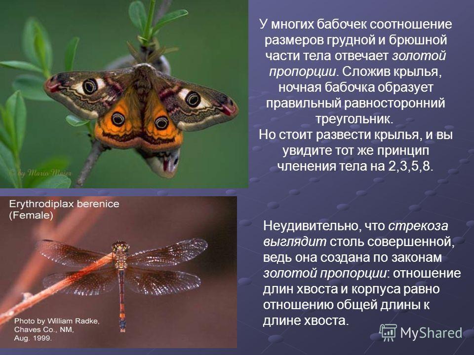 У многих бабочек соотношение размеров грудной и брюшной части тела отвечает золотой пропорции. Сложив крылья, ночная бабочка образует правильный равносторонний треугольник. Но стоит развести крылья, и вы увидите тот же принцип членения тела на 2,3,5,
