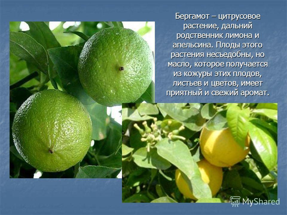 Бергамот – цитрусовое растение, дальний родственник лимона и апельсина. Плоды этого растения несъедобны, но масло, которое получается из кожуры этих плодов, листьев и цветов, имеет приятный и свежий аромат.