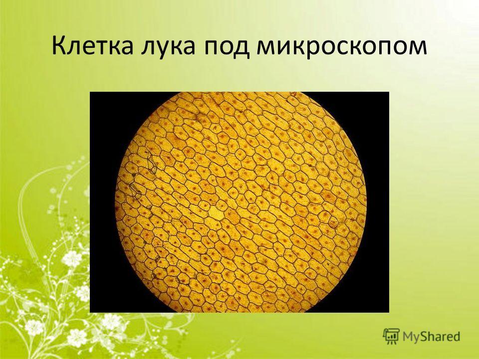 Клетка лука под микроскопом