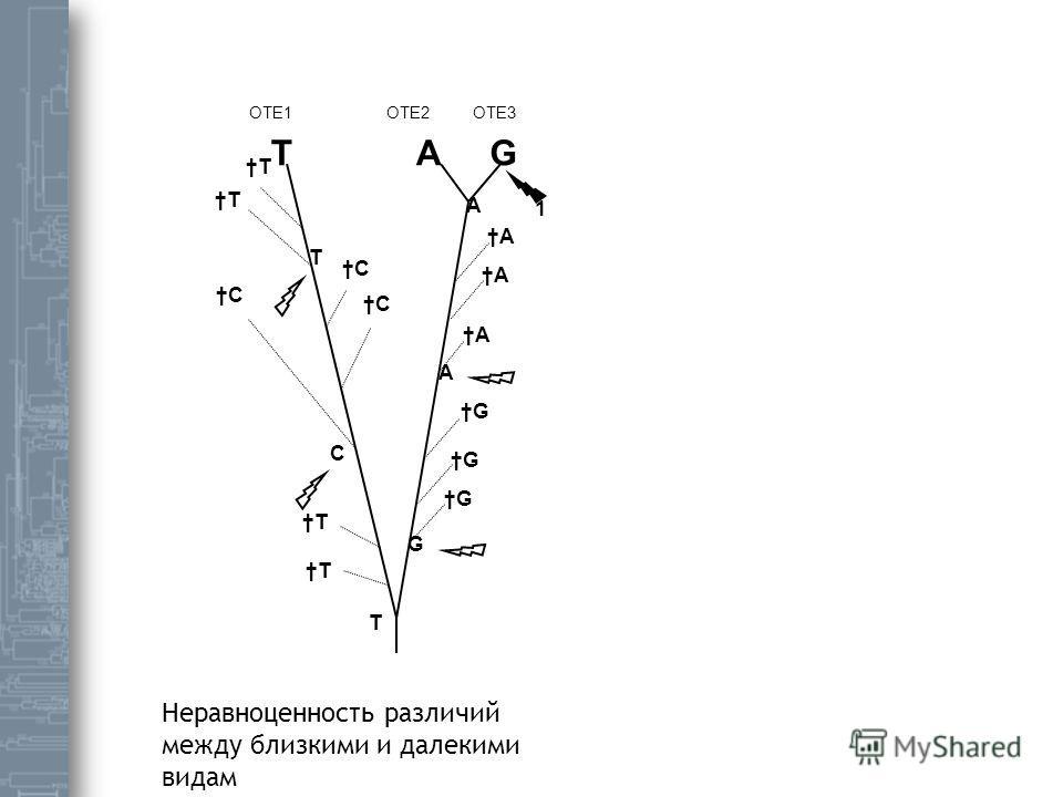 A C C C ОТЕ1ОТЕ2ОТЕ3 G ATG T T T A A G G G A T C T A T 1 Неравноценность различий между близкими и далекими видам