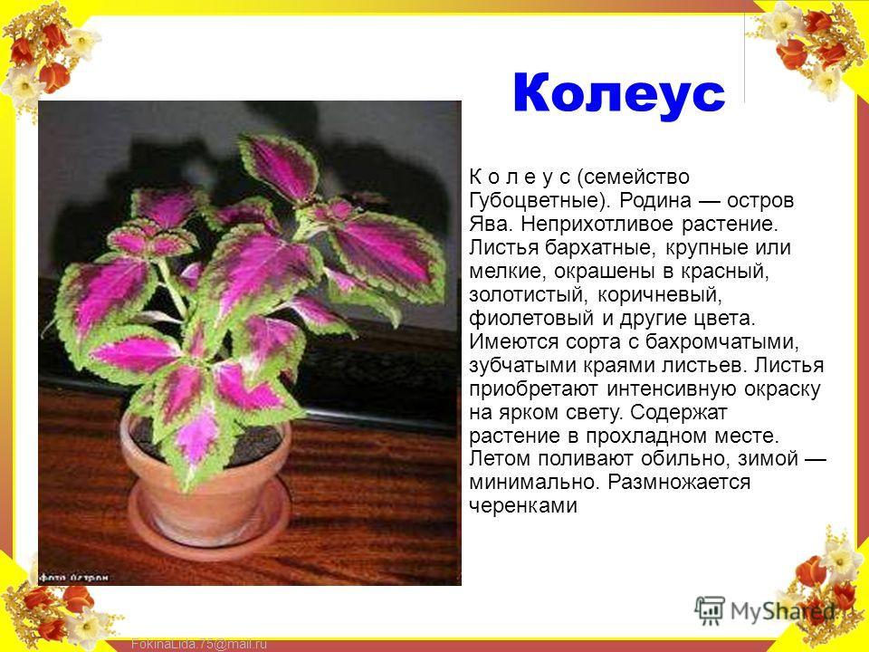 FokinaLida.75@mail.ru Колеус К о л е у с (семейство Губоцветные). Родина остров Ява. Неприхотливое растение. Листья бархатные, крупные или мелкие, окрашены в красный, золотистый, коричневый, фиолетовый и другие цвета. Имеются сорта с бахромчатыми, зу