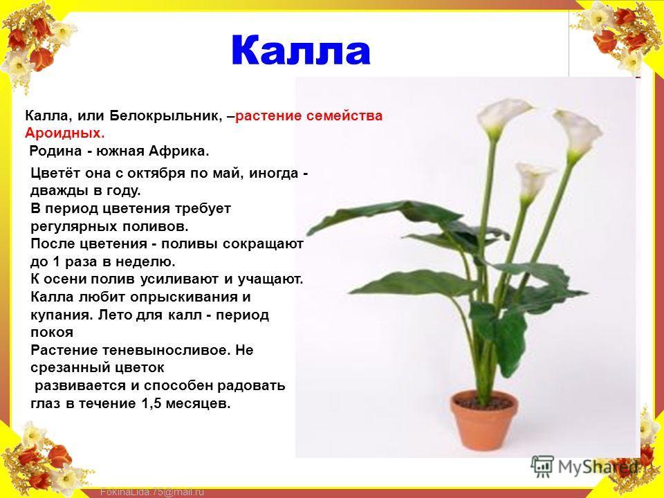FokinaLida.75@mail.ru Калла Калла, или Белокрыльник, –растение семейства Ароидных. Родина - южная Африка. Цветёт она с октября по май, иногда - дважды в году. В период цветения требует регулярных поливов. После цветения - поливы сокращают до 1 раза в