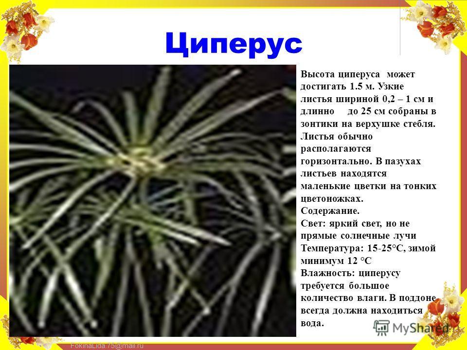 FokinaLida.75@mail.ru Циперус Высота циперуса может достигать 1.5 м. Узкие листья шириной 0,2 – 1 см и длинно до 25 см собраны в зонтики на верхушке стебля. Листья обычно располагаются горизонтально. В пазухах листьев находятся маленькие цветки на то