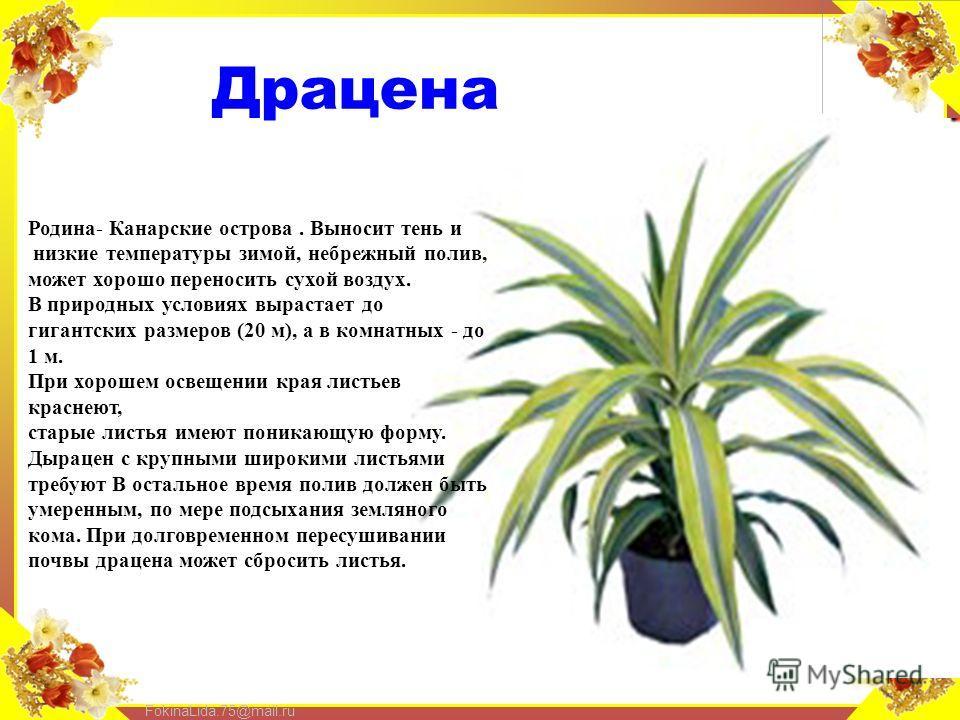 FokinaLida.75@mail.ru Драцена Родина- Канарские острова. Выносит тень и низкие температуры зимой, небрежный полив, может хорошо переносить сухой воздух. В природных условиях вырастает до гигантских размеров (20 м), а в комнатных - до 1 м. При хорошем