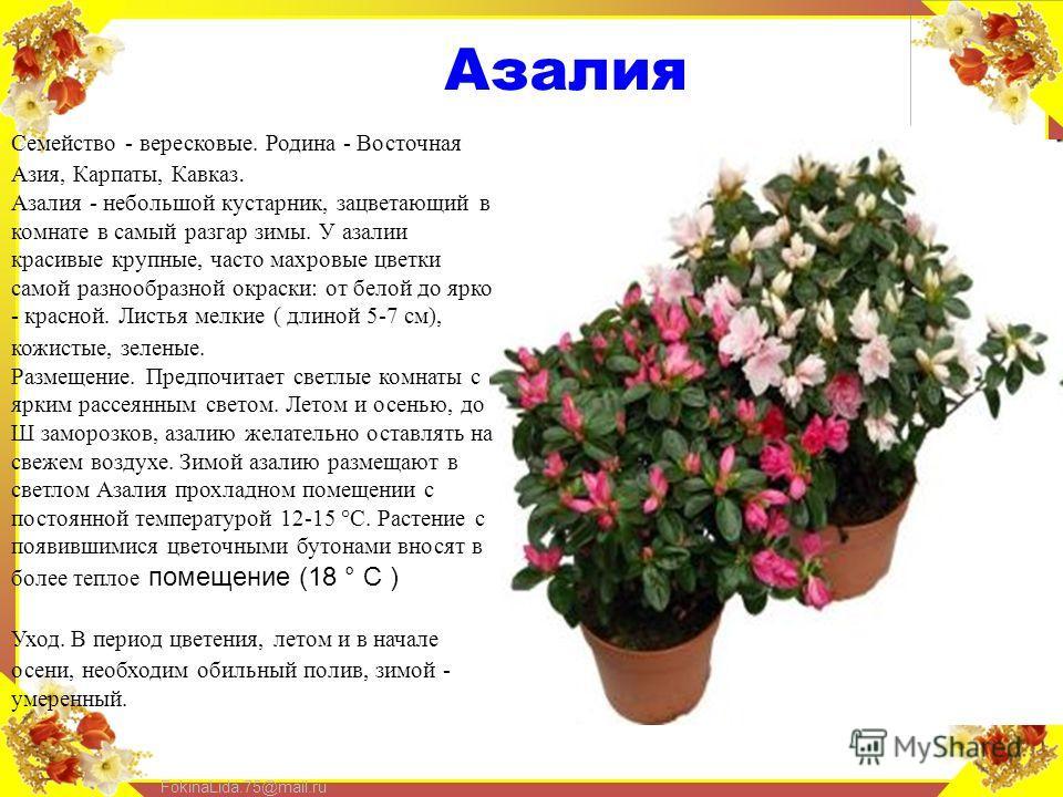 FokinaLida.75@mail.ru Азалия Семейство - вересковые. Родина - Восточная Азия, Карпаты, Кавказ. Азалия - небольшой кустарник, зацветающий в комнате в самый разгар зимы. У азалии красивые крупные, часто махровые цветки самой разнообразной окраски: от б