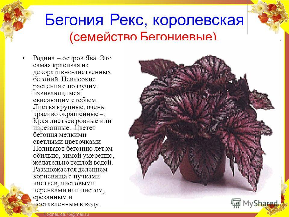 FokinaLida.75@mail.ru Бегония Рекс, королевская (семейство Бегониевые). Родина – остров Ява. Это самая красивая из декоративно-лиственных бегоний. Невысокие растения с ползучим извивающимся свисающим стеблем. Листья крупные, очень красиво окрашенные