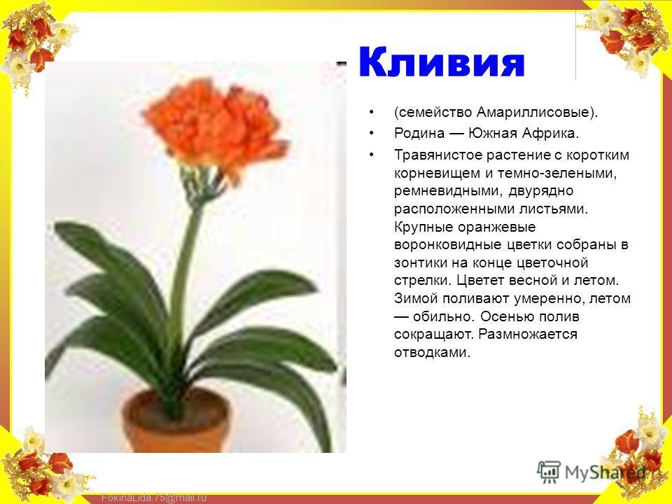 FokinaLida.75@mail.ru Кливия (семейство Амариллисовые). Родина Южная Африка. Травянистое растение с коротким корневищем и темно-зелеными, ремневидными, двурядной расположенными листьями. Крупные оранжевые воронковидные цветки собраны в зонтики на кон