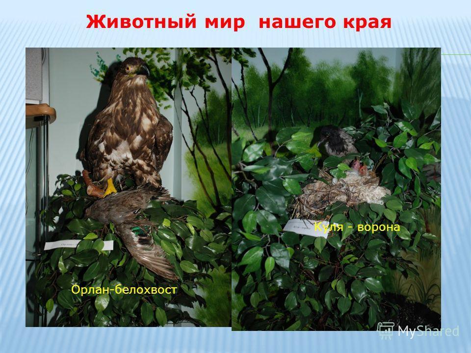 Животный мир нашего края Орлан-белохвост Куля - ворона