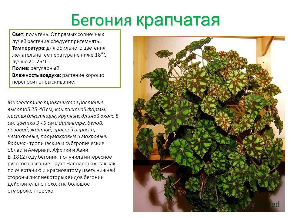 Бегония крапчатая Свет: полутень. От прямых солнечных лучей растение следует притемнять. Температура: для обильного цветения желательна температура не ниже 18°C, лучше 20-25°C. Полив: регулярный. Влажность воздуха: растение хорошо переносит опрыскива