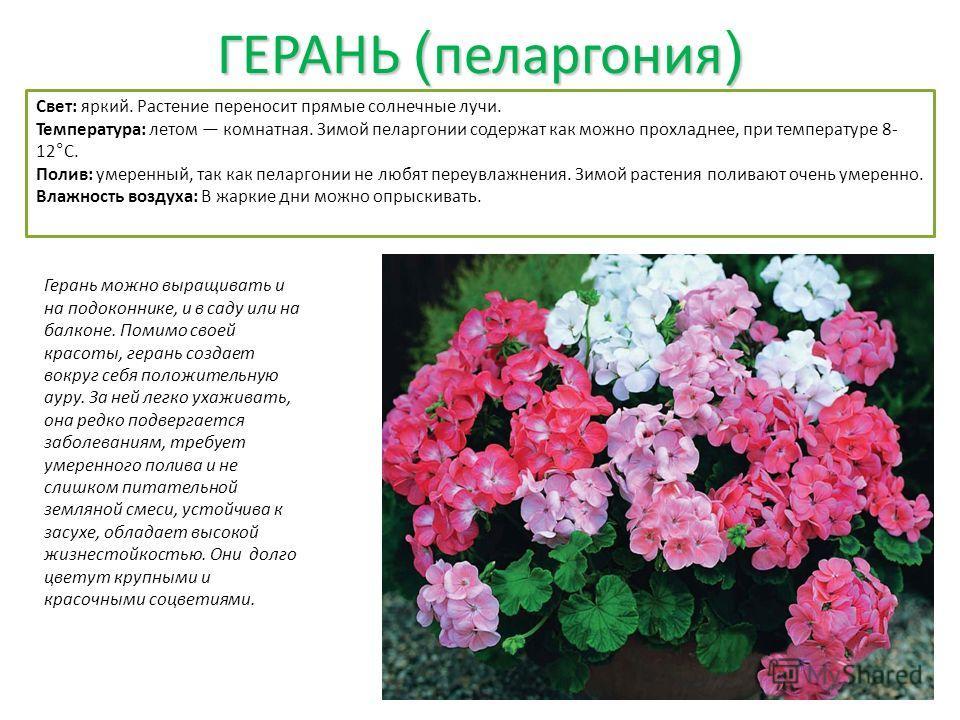 ГЕРАНЬ ( пеларгония ) Герань можно выращивать и на подоконнике, и в саду или на балконе. Помимо своей красоты, герань создает вокруг себя положительную ауру. За ней легко ухаживать, она редко подвергается заболеваниям, требует умеренного полива и не