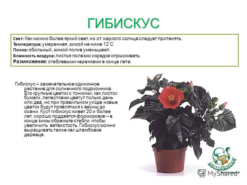 ГИБИСКУС Гибискус – замечательное одиночное растение для солнечного подоконника. Его крупные цветки с тонкими, как листок бумаги, лепестками цветут только день или два, но при правильном уходе новые цветки будут появляться с весны до осени. Куст гиби
