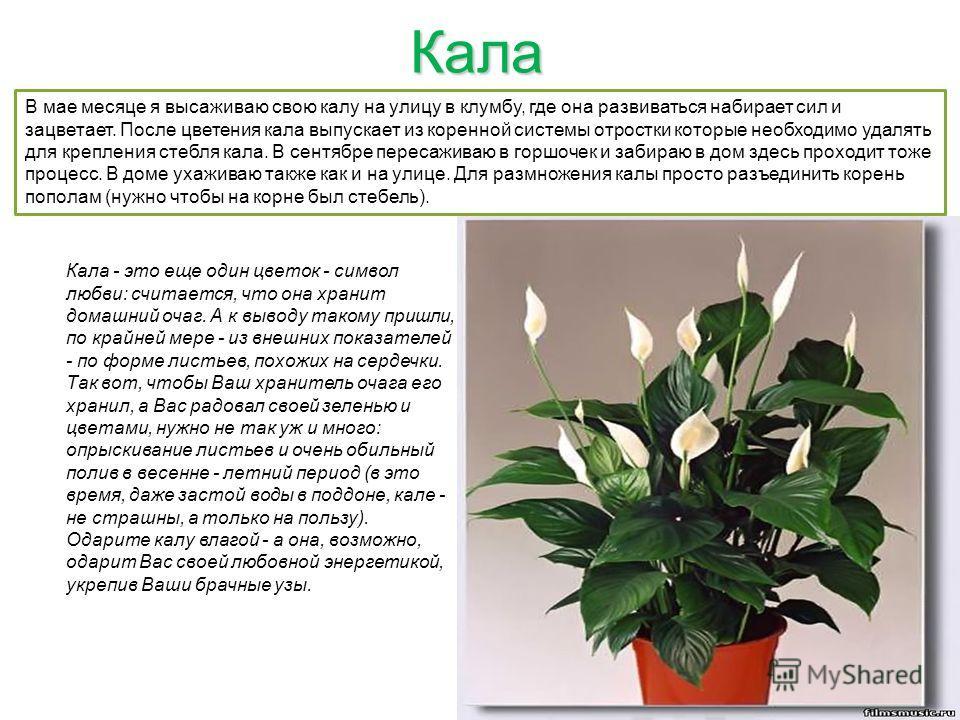 Кала Кала - это еще один цветок - символ любви: считается, что она хранит домашний очаг. А к выводу такому пришли, по крайней мере - из внешних показателей - по форме листьев, похожих на сердечки. Так вот, чтобы Ваш хранитель очага его хранил, а Вас