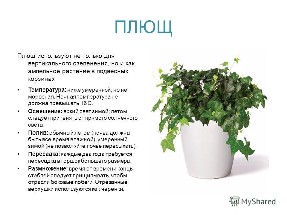 ПЛЮЩ Плющ используют не только для вертикального озеленения, но и как ампельное растение в подвесных корзинах Температура: ниже умеренной, но не морозная. Ночная температура не должна превышать 16 С. Освещение: яркий свет зимой; летом следует притеня