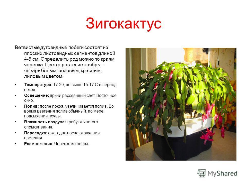 Зигокактус Ветвистые дуговидные побеги состоят из плоских листовидных сегментов длиной 4-5 см. Определить род можно по краям черенка. Цветет растение ноябрь – январь белым, розовым, красным, лиловым цветом. Температура: 17-20, не выше 15-17 С в перио