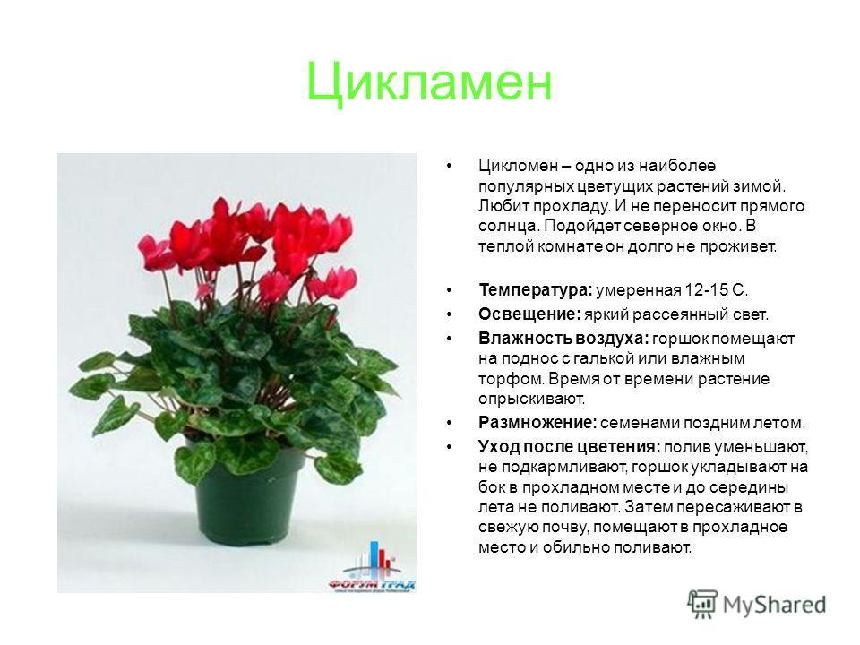 Цикламен Цикломен – одно из наиболее популярных цветущих растений зимой. Любит прохладу. И не переносит прямого солнца. Подойдет северное окно. В теплой комнате он долго не проживет. Температура: умеренная 12-15 С. Освещение: яркий рассеянный свет. В