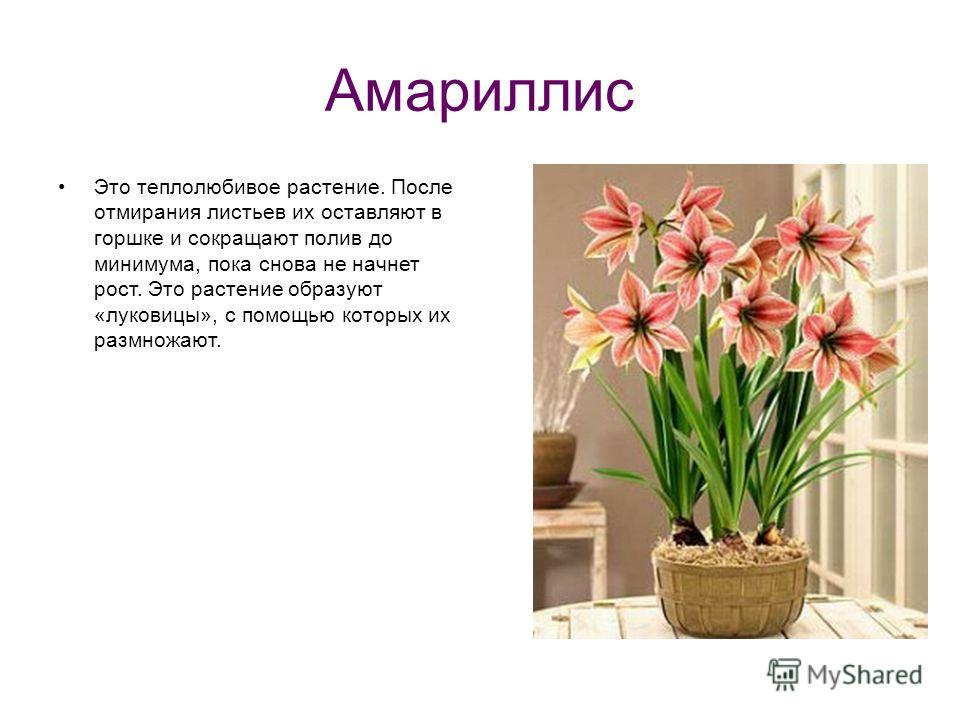 Амариллис Это теплолюбивое растение. После отмирания листьев их оставляют в горшке и сокращают полив до минимума, пока снова не начнет рост. Это растение образуют «луковицы», с помощью которых их размножают.