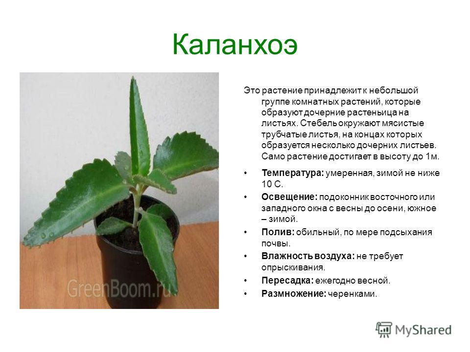 Каланхоэ Это растение принадлежит к небольшой группе комнатных растений, которые образуют дочерние растеньица на листьях. Стебель окружают мясистые трубчатые листья, на концах которых образуется несколько дочерних листьев. Само растение достигает в в