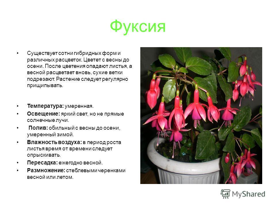 Фуксия Существует сотни гибридных форм и различных расцветок. Цветет с весны до осени. После цветения опадают листья, а весной расцветает вновь, сухие ветки подрезают. Растение следует регулярно прищипывать. Температура: умеренная. Освещение: яркий с