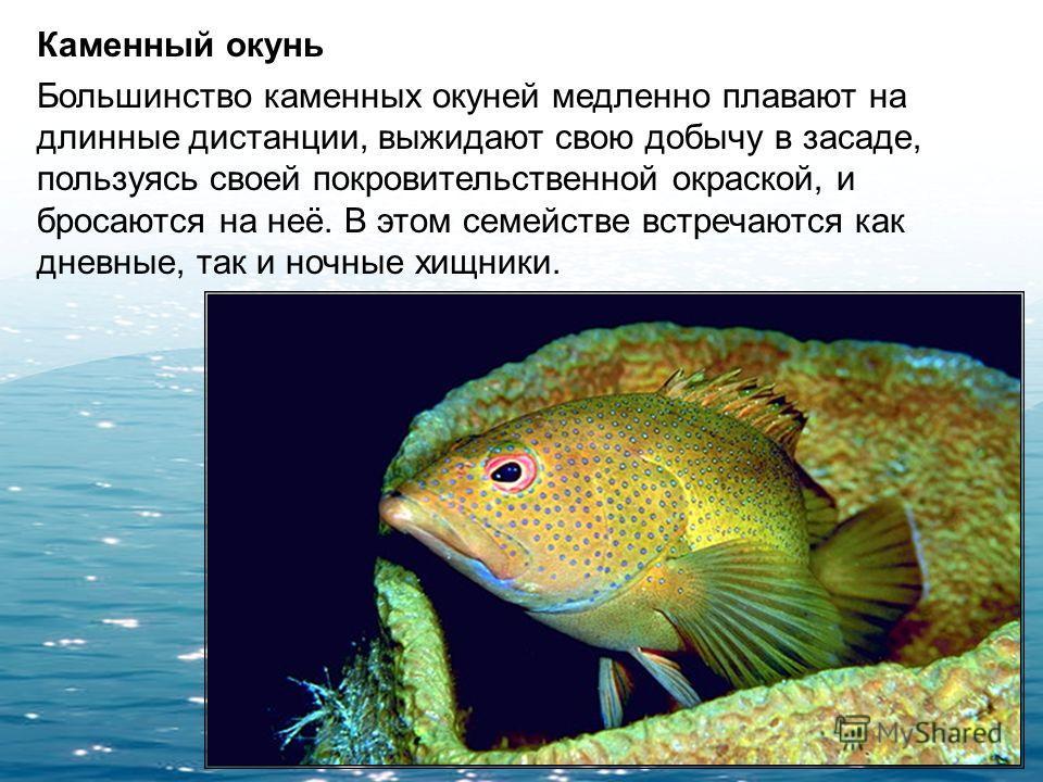 Вымпельный щетинозуб Относятся к группе рыб-бабочек. Имеет уплощенное тело длиной до 15 см, высота которого превышает длину. Свое название вымпельные рыбы-бабочки получили из-за характерного строения четвертого луча спинного плавника, который сильно