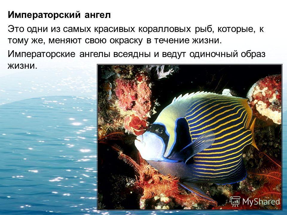 Рыба-наполеон Рыба-наполеон, обитающая в Красном море, относится к груперам. Плавает на длинные дистанции сравнительно медленно и бросается на свою добычу из засады, где терпеливо поджидает ее, пользуясь своей покровительственной окраской.