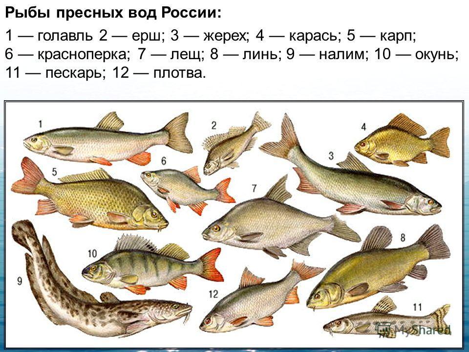 РЫБЫ, надкласс водных позвоночных. Температура тела непостоянна, дышат жабрами (есть двоякодышащие формы). У многих рыб есть плавательный пузырь. Конечности в виде плавников (иногда отсутствуют) служат рулями и стабилизаторами при поступательном движ