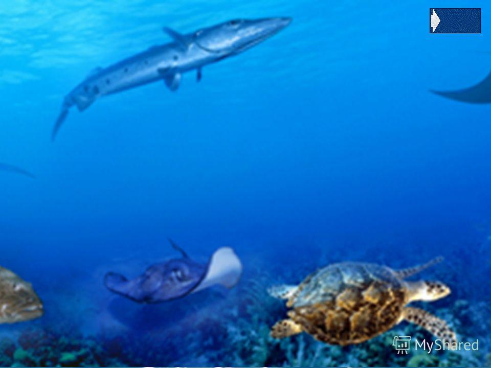 Скат-хвостокол Получили свое название из-за строения хвоста, где имеется одна или несколько длинных кинжаловидных ядовитых игл (до 40 см). Это серьезное оружие используется для защиты от своих главных врагов крупных акул. Это донные рыбы, проводящие