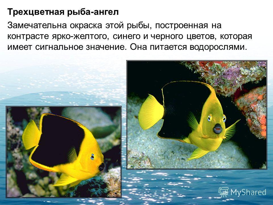 Мавританский занкл Эта рыба имеет очень яркую окраску и характерную внешность, наиболее яркими чертами которой являются пара роговидных выростов на лбу между глазами и сильно вытянутые первые лучи спинного плавника. Размер взрослых занклов составляет