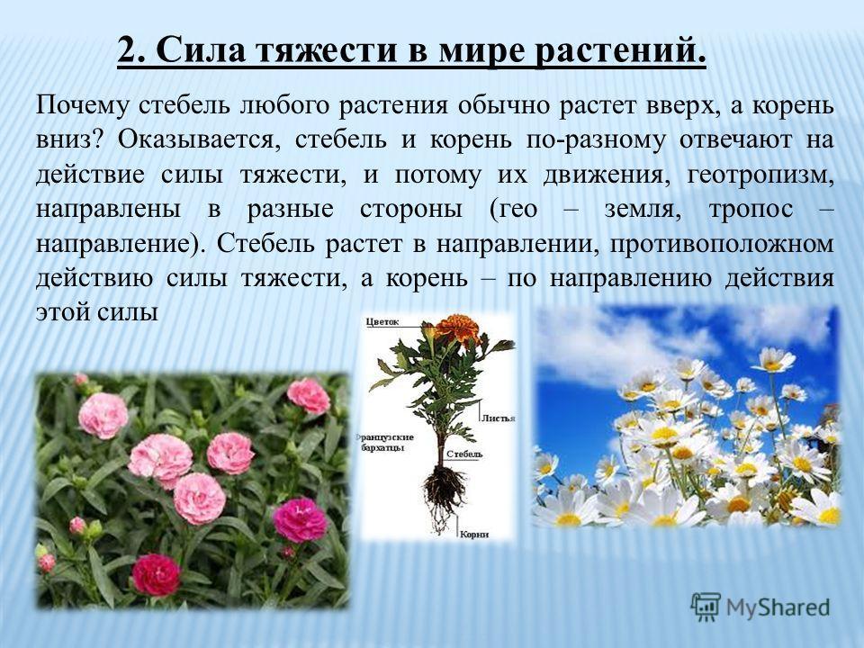 2. Сила тяжести в мире растений. Почему стебель любого растения обычно растет вверх, а корень вниз? Оказывается, стебель и корень по-разному отвечают на действие силы тяжести, и потому их движения, геотропизм, направлены в разные стороны (гео – земля