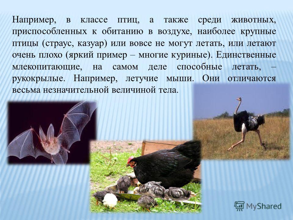 Например, в классе птиц, а также среди животных, приспособленных к обитанию в воздухе, наиболее крупные птицы (страус, казуар) или вовсе не могут летать, или летают очень плохо (яркий пример – многие куриные). Единственные млекопитающие, на самом дел