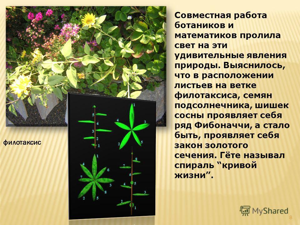 Совместная работа ботаников и математиков пролила свет на эти удивительные явления природы. Выяснилось, что в расположении листьев на ветке филлотаксиса, семян подсолнечника, шишек сосны проявляет себя ряд Фибоначчи, а стало быть, проявляет себя зако