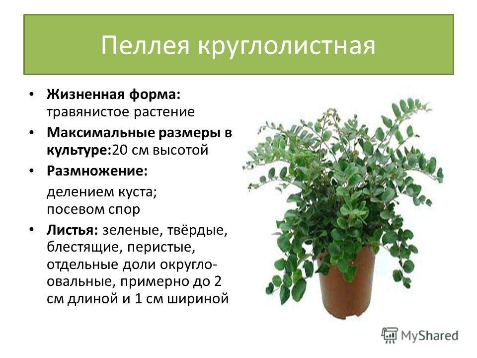 Пеллея круглолистная Жизненная форма: травянистое растение Максимальные размеры в культуре:20 см высотой Размножение: делением куста; посевом спор Листья: зеленые, твёрдые, блестящие, перистые, отдельные доли округло- овальные, примерно до 2 см длино