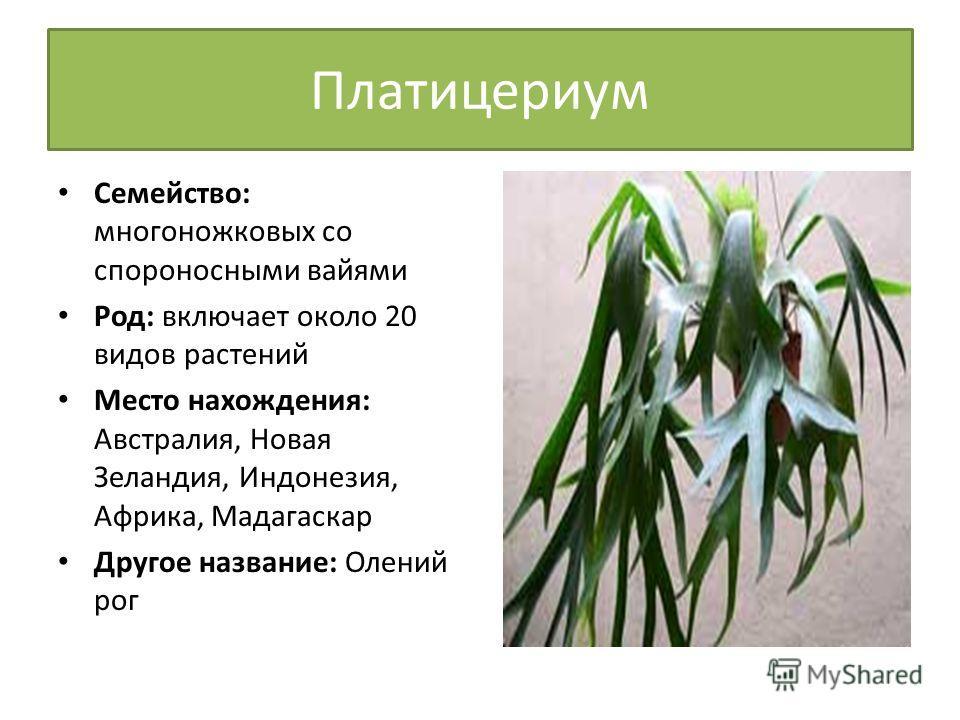 Платицериум Семейство: многоножковых со спороносными вайями Род: включает около 20 видов растений Место нахождения: Австралия, Новая Зеландия, Индонезия, Африка, Мадагаскар Другое название: Олений рог