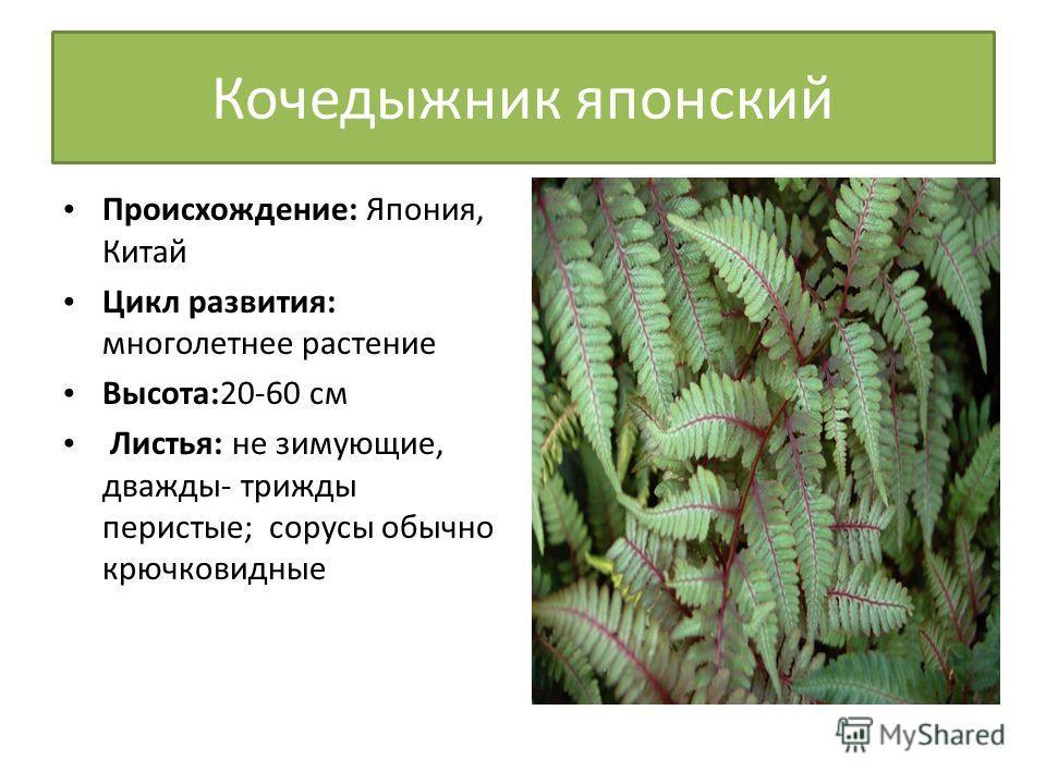 Кочедыжник японский Происхождение: Япония, Китай Цикл развития: многолетнее растение Высота:20-60 см Листья: не зимующие, дважды- трижды перистые; сорусы обычно крючковидные