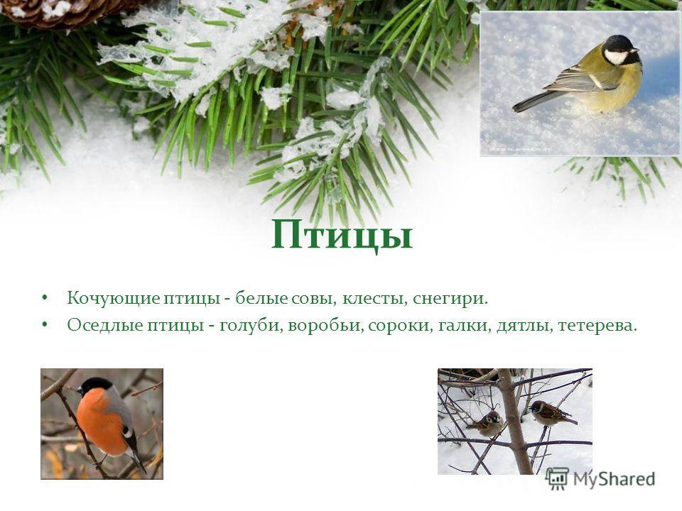 Кочующие птицы - белые совы, клесты, снегири. Оседлые птицы - голуби, воробьи, сороки, галки, дятлы, тетерева.