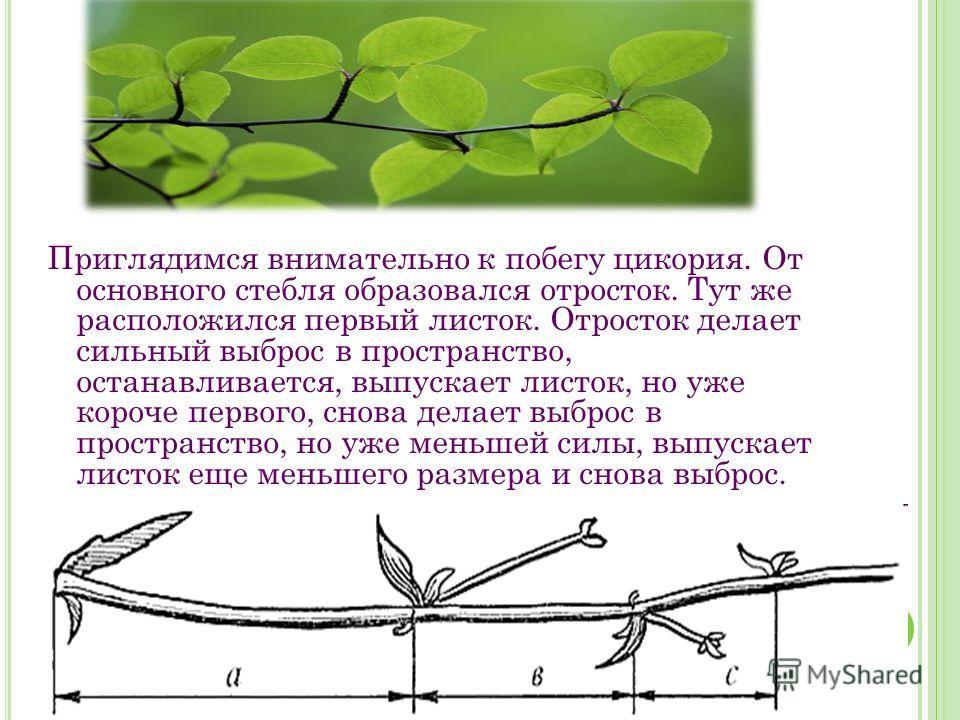 Приглядимся внимательно к побегу цикория. От основного стебля образовался отросток. Тут же расположился первый листок. Отросток делает сильный выброс в пространство, останавливается, выпускает листок, но уже короче первого, снова делает выброс в прос