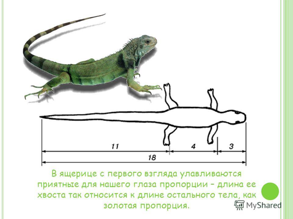 В ящерице с первого взгляда улавливаются приятные для нашего глаза пропорции – длина ее хвоста так относится к длине остального тела, как золотая пропорция.