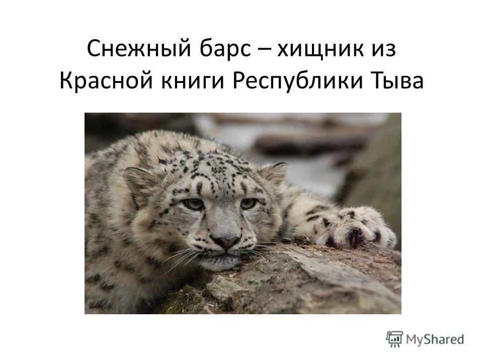 Снежный барс – хищник из Красной книги Республики Тыва