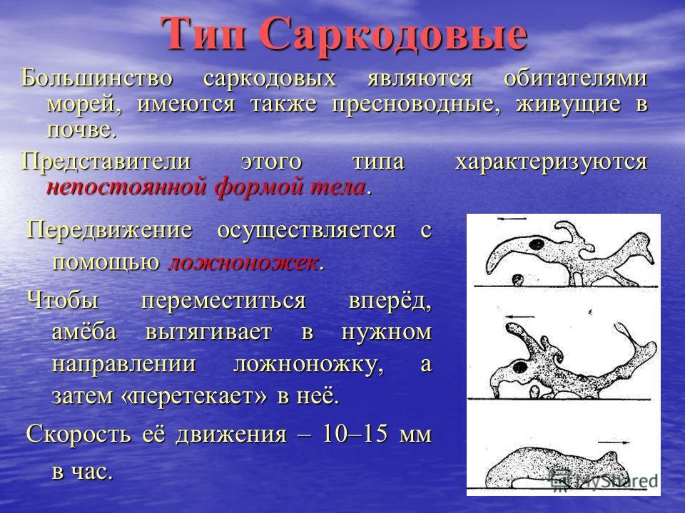 Тип Саркодовые Большинство саркодовых являются обитателями морей, имеются также пресноводные, живущие в почве. Представители этого типа характеризуются непостоянной формой тела. Передвижение осуществляется с помощью ложноножек. Чтобы переместиться вп