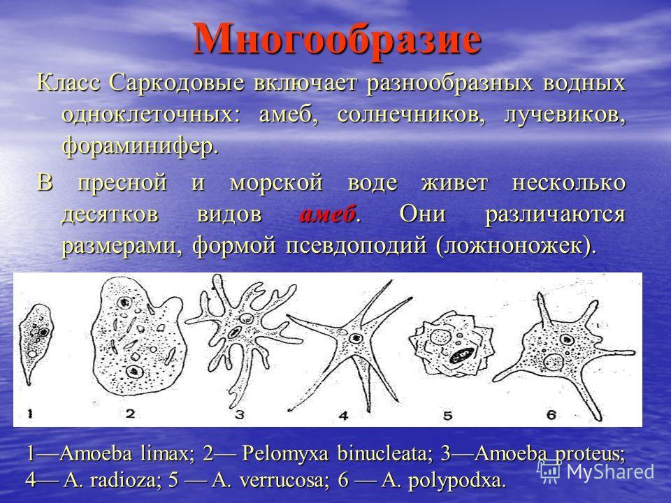 Многообразие Класс Саркодовые включает разнообразных водных одноклеточных: амеб, солнечников, лучевиков, фораминифер. В пресной и морской воде живет несколько десятков видов амеб. Они различаются размерами, формой псевдоподий (ложноножек). 1Amoeba li