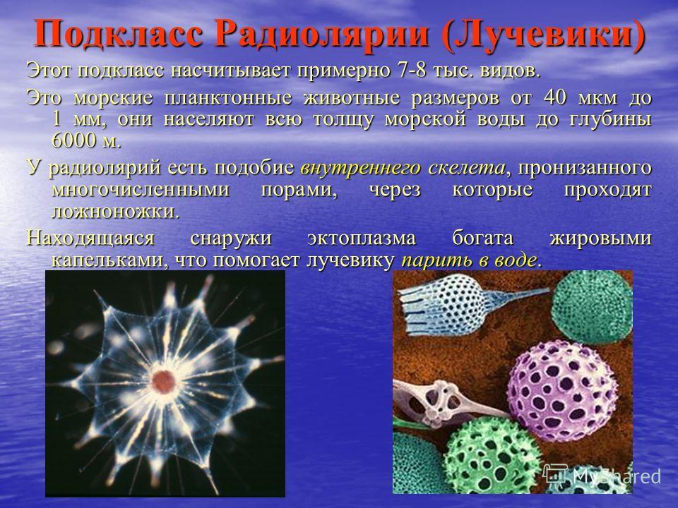 Подкласс Радиолярии (Лучевики) Этот подкласс насчитывает примерно 7-8 тыс. видов. Это морские планктонные животные размеров от 40 мкм до 1 мм, они населяют всю толщу морской воды до глубины 6000 м. У радиолярий есть подобие внутреннего скелета, прони