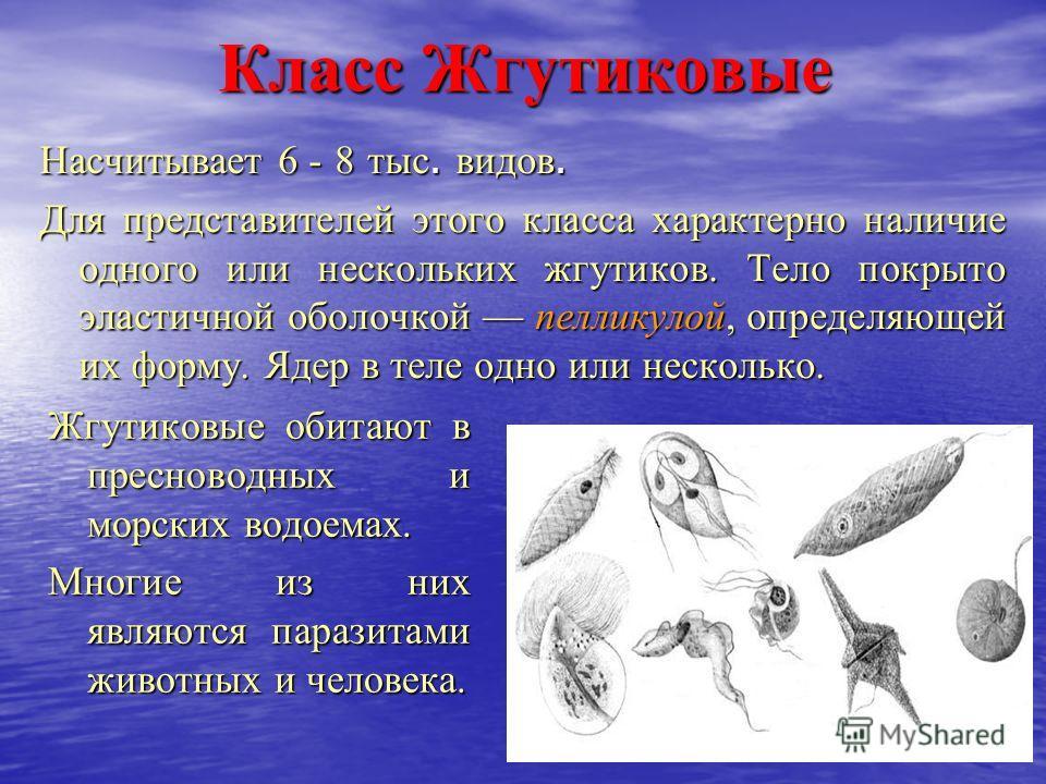 Класс Жгутиковые Насчитывает 6 - 8 тыс. видов. Для представителей этого класса характерно наличие одного или нескольких жгутиков. Тело покрыто эластичной оболочкой пелликулой, определяющей их форму. Ядер в теле одно или несколько. Жгутиковые обитают