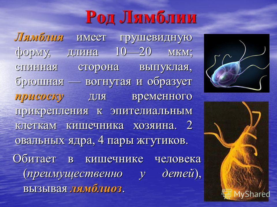 Род Лямблии Обитает в кишечнике человека (преимущественно у детей), вызывая лямблиоз. Лямблия имеет грушевидную форму, длина 1020 мкм; спинная сторона выпуклая, брюшная вогнутая и образует присоску для временного прикрепления к эпителиальным клеткам