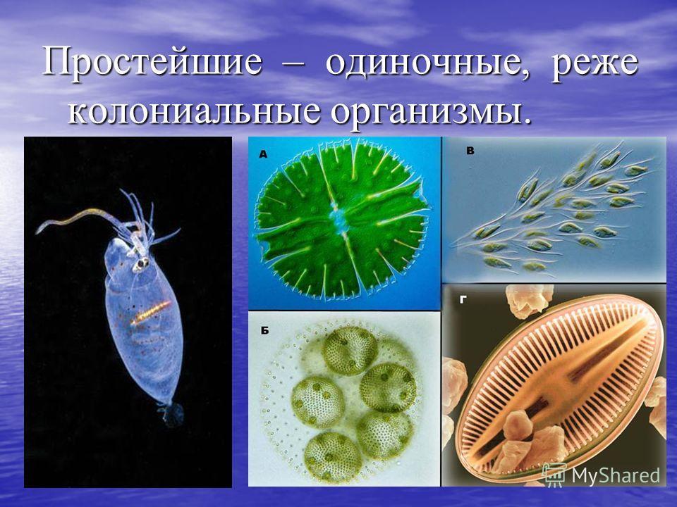 Простейшие – одиночные, реже колониальные организмы.