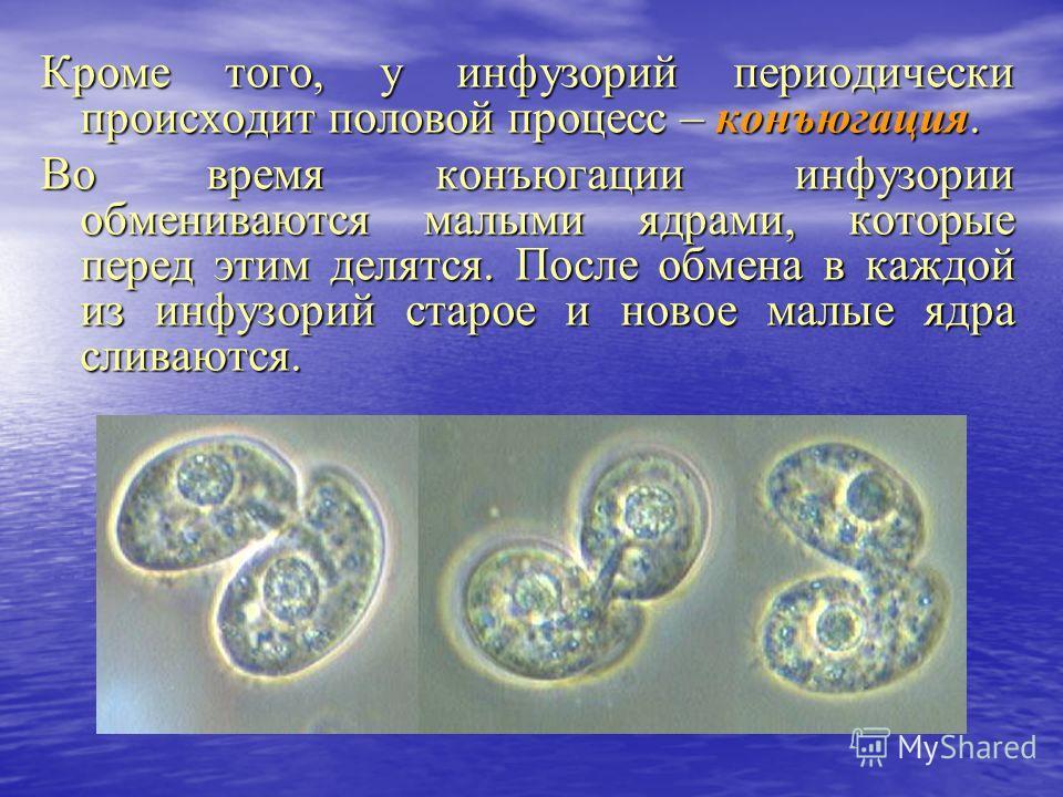 Кроме того, у инфузорий периодически происходит половой процесс – конъюгация. Во время конъюгации инфузории обмениваются малыми ядрами, которые перед этим делятся. После обмена в каждой из инфузорий старое и новое малые ядра сливаются.