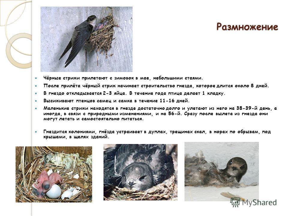 Размножение Чёрные стрижи прилетают с зимовок в мае, небольшими стаями. После прилёта чёрный стриж начинает строительство гнезда, которое длится около 8 дней. В гнездо откладывается 2-3 яйца. В течение года птица делает 1 кладку. Высиживают птенцов с