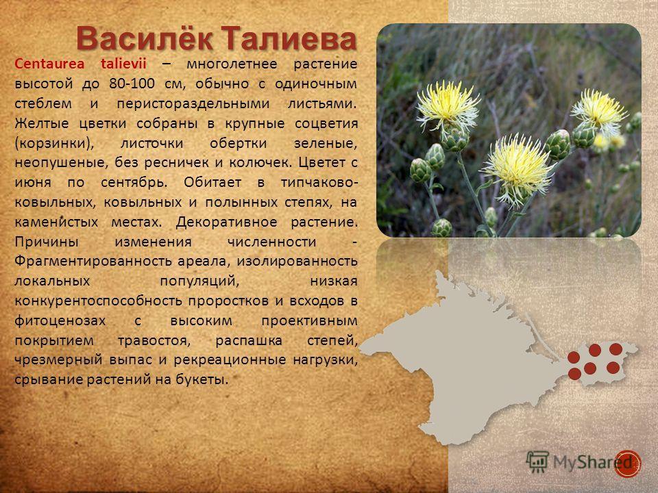 Centaurea talievii – многолетнее растение высотой до 80-100 см, обычно с одиночным стеблем и перистораздельными листьями. Желтые цветки собраны в крупные соцветия (корзинки), листочки обертки зеленые, неопушенные, без ресничек и колючек. Цветет с июн
