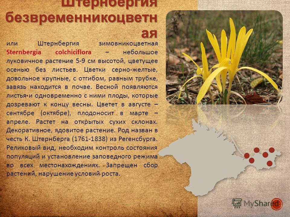 или Штернбергия зимовникоцветная Sternbergia colchiciflora – небольшое луковичное растение 5-9 см высотой, цветущее осенью без листьев. Цветки серно-желтые, довольное крупные, с отгибом, равным трубке, завязь находится в почве. Весной появляются лист