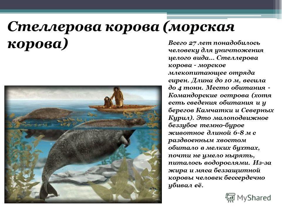 Стеллерова корова (морская корова) Всего 27 лет понадобилось человеку для уничтожения целого вида… Стеллерова корова - морское млекопитающее отряда сирен. Длина до 10 м, весила до 4 тонн. Место обитания - Командорские острова (хотя есть сведения обит