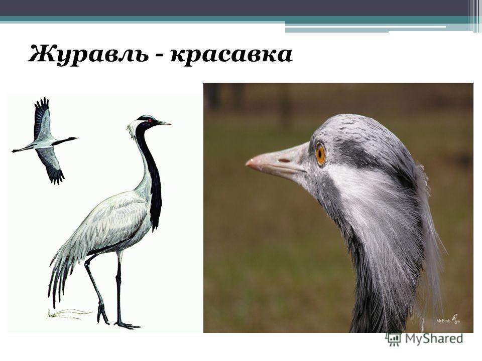 Журавль - красавка